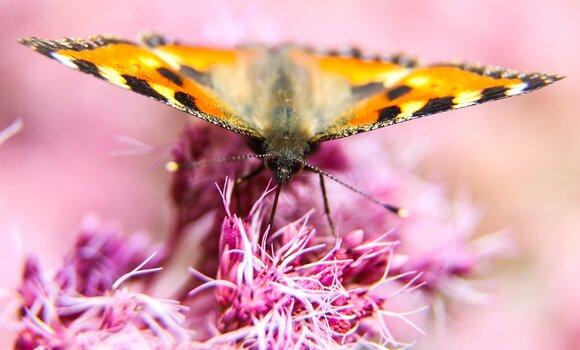 бабочка насекомое