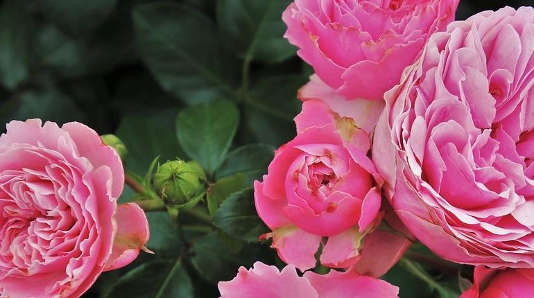 Аромат роз оказался полезен для памяти