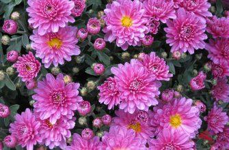 Хризантемы цветы букет растение