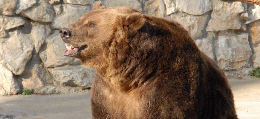 Медведица в Московском зоопарке. Официальный сайт Московского зоопарка