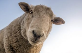 овца сельское хозяйство любопытство