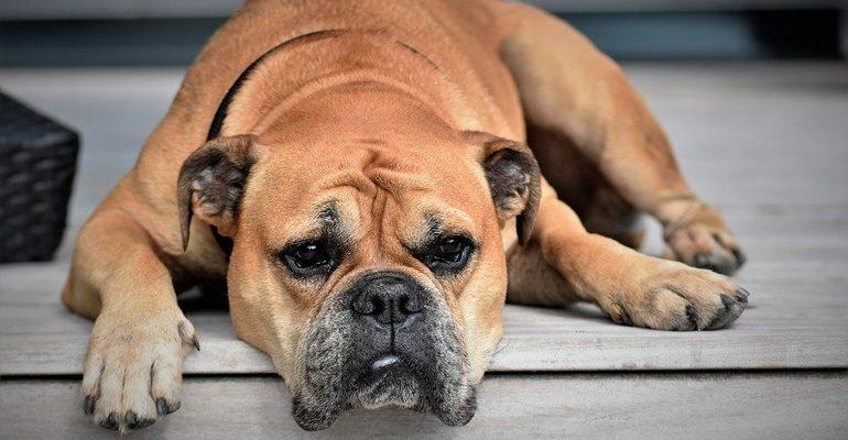 собака пес скука животное