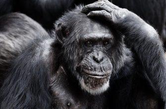 рука лицо обезьяна
