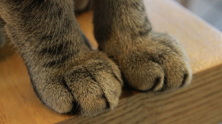 кошка лапы