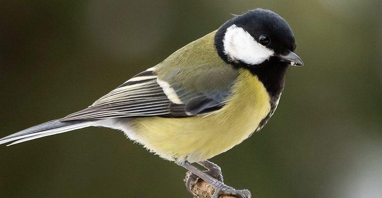 Синица птицы