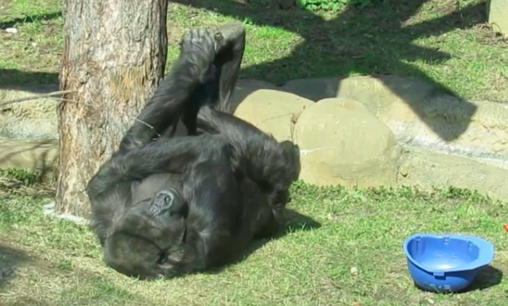 Горилла обезьяна
