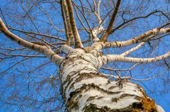 Береза дерево весна солнце лето погода